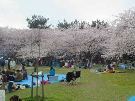 BBQ広場の桜